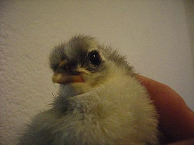 kyckling 090510_1