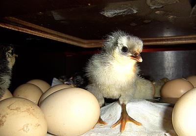 kyckling 090510_2